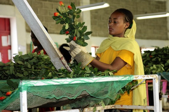 KKR is investing about $200 million in Ethiopian flower company Afriflora; above, an Afriflora worker. Afriflora